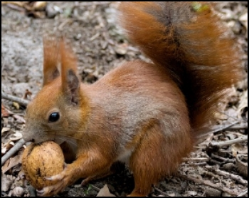 Polskie zwierzaki - wiewiórka